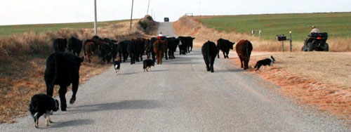 Driving cattle to pasture